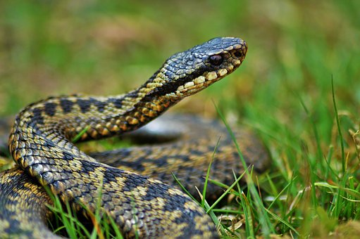 adder snake deadly creatures in the uk